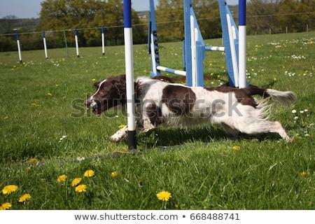 Photo stock: Working Type English Springer Spaniel Pet Gundog Weaving Through
