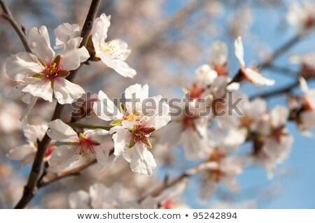 красивой миндаль зима цветы поздно цветок Сток-фото © ankarb