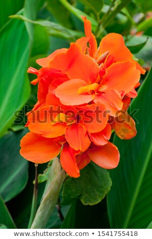 Floral Border yellow Canna lilies Stock photo © Irisangel