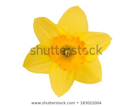 белый желтый цвета Daffodil изолированный фон Сток-фото © tetkoren