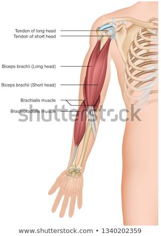 medical  illustration of the biceps Stock photo © maya2008