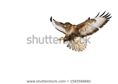 канюк Германия полет пейзаж птиц лет Сток-фото © Rosemarie_Kappler