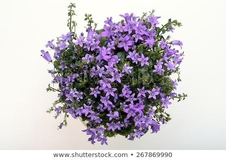Spring flower bush Dalmatian bellflower Stock photo © mady70