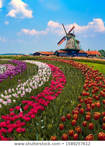 Spring tulips in field Stock photo © Sandralise