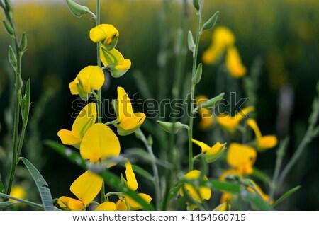 Organic sun hemp flower in farm Stock photo © nalinratphi