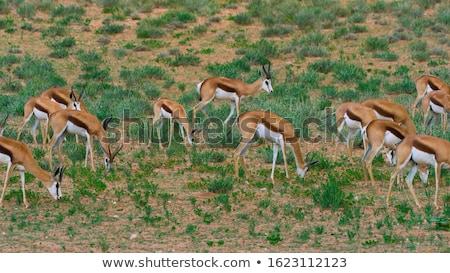 Female Impala eating grass. Stock photo © simoneeman