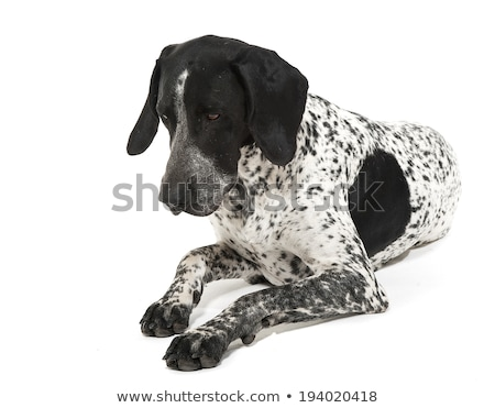 german pointer lying in the studio floor and looking down stock photo © vauvau