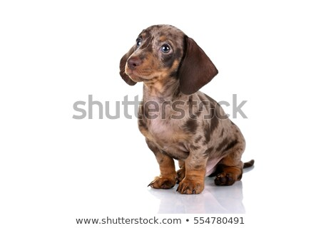 lovely dachshund sitting in a white photo studio stock photo © vauvau