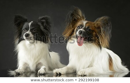 two cute papillon relaxing in dark photo studio stock photo © vauvau