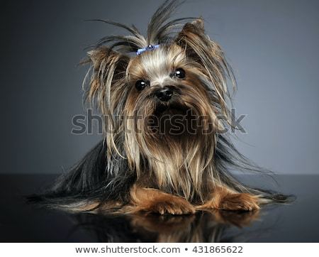 Sweet Yorkshire terrier lying in a reflexing table Stock photo © vauvau