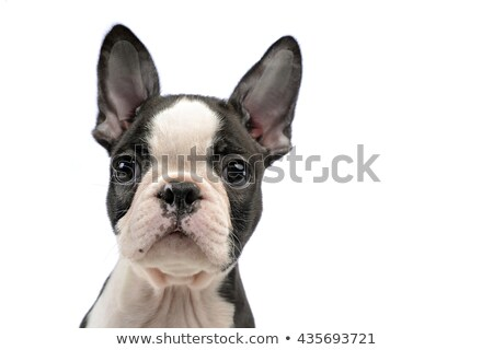 puppy boston terrier portrait in a white photo studio stock photo © vauvau