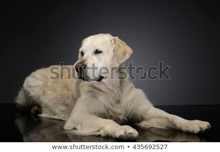 Feliz labrador retriever gris foto estudio belleza Foto stock © vauvau