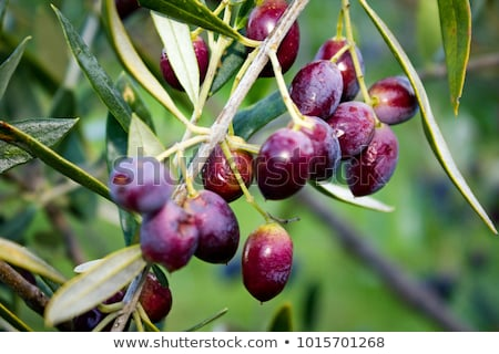 Olive tree field in Kalamata, Greece Stock photo © akarelias