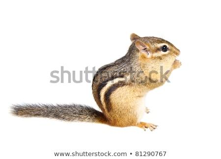 Fat chipmunk on white background Stock photo © bluering