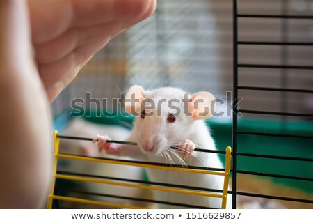 Laboratory mouse is white. Red eyes. Rat for experiments. Experi Stock photo © MaryValery