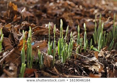 fresh first snowdrops blooming stock photo © taigi