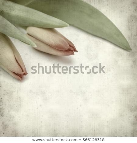 Papel velho tulipas flor natureza retro Foto stock © rufous