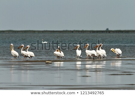 flock of great pelicans standing in shallow waters stock photo © taviphoto
