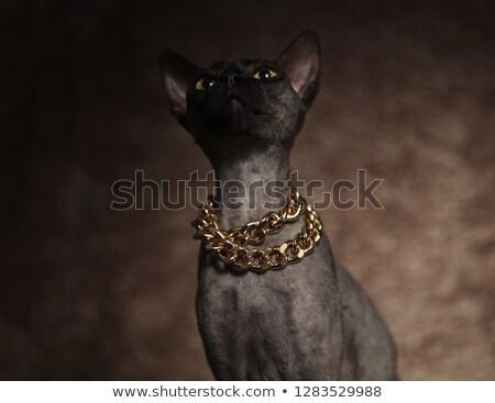 Ciekawy szary kot złoty Zdjęcia stock © feedough