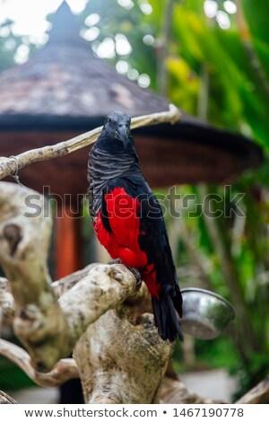 Preto papagaio bali pássaro parque Indonésia Foto stock © boggy