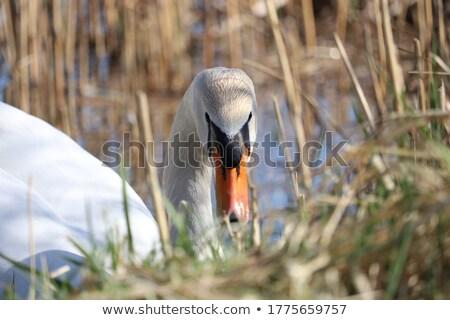 Stockfoto: Wild Duck Dress Its Feathers