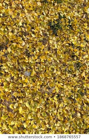 Yellow Ginko leaves sidewalk Stock photo © bobkeenan