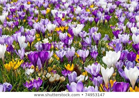 Stock fotó: A Lot Of Dutch Spring Crocus Flowers