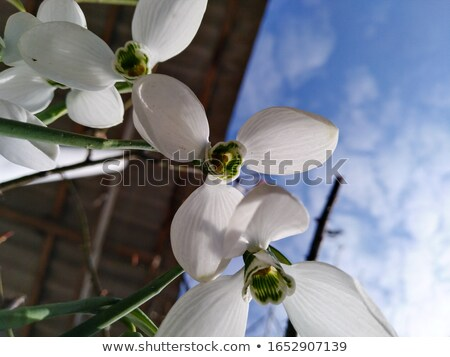 three orchid flowers in the snow stock photo © prill