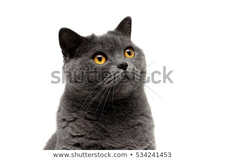 Bella ritratto grigio cat occhi Foto d'archivio © vlad_star