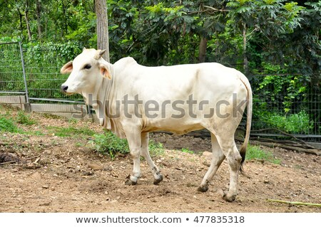 red brahman bull with cows steers calfs on farm stock photo © sherjaca