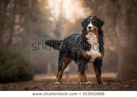 Berneński pies pasterski kobiet trawy tle gospodarstwa portret Zdjęcia stock © grivet