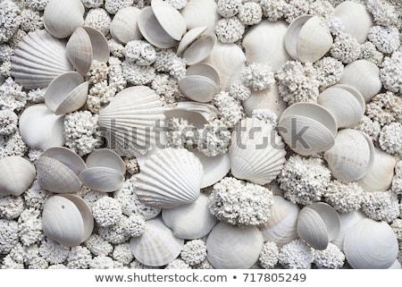 white seashell Stock photo © vaeenma