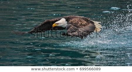 bald eagle with fish stock photo © gordo25