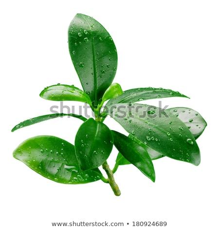 Laranja ramo folha verde branco estúdio Foto stock © boroda
