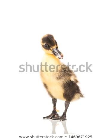 ördek · yavrusu · yalıtılmış · beyaz · kadın · ördek - stok fotoğraf © alptraum