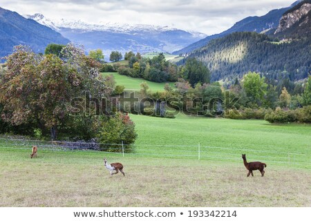alpaca on meadow, canton Graubunden, Switzerland Stock photo © phbcz