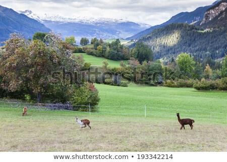 alpaca on meadow canton graubunden switzerland stock photo © phbcz