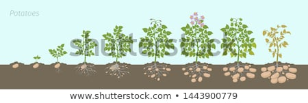 potato plant  Stock photo © LianeM