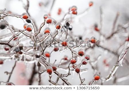 Artico vegetazione primo piano estate autunno rosso Foto d'archivio © Arrxxx