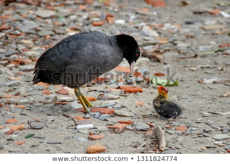 Eurasian Coot with gosling Stock photo © ivonnewierink