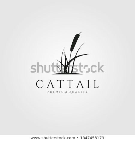 Cattail of reeds Stock photo © marekusz