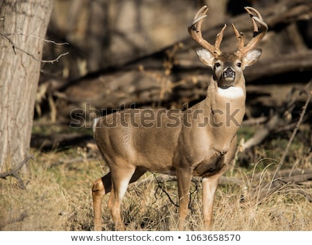 鹿 · バック · 立って · フィールド · 動物 · トロフィー - ストックフォト © brm1949