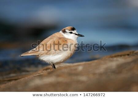 pequeño · gaviotas · arena · de · la · playa · búsqueda · alimentos · naturaleza - foto stock © dirkr