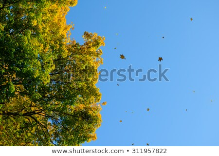 Stock photo: Falling Colorful Autumn Leafs and Tree over Deep Blue Sky