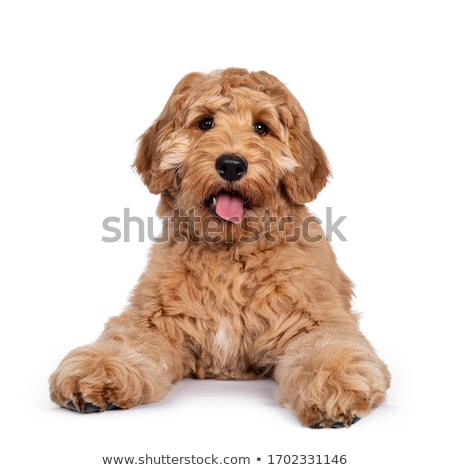 beige labradoodle dog stock photo © eriklam