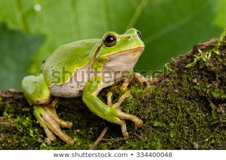 european tree frog stock photo © cynoclub