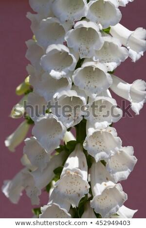 Cerca vista blanco flor guantes muertos Foto stock © gsermek