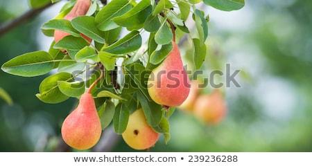 Ripe pear fruit on the branch in orchard Stock photo © stevanovicigor