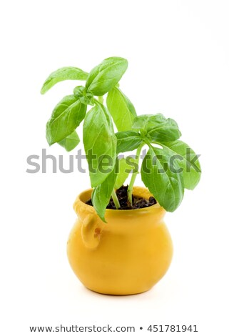 Fresh Green Lush Foliage Basil with Water Drops in Yellow Flower Pot isolated on White background Stock photo © zhekos