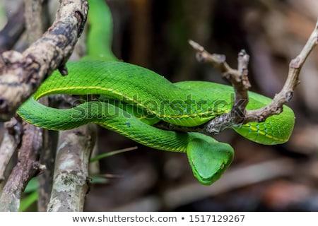 Eastern Green Mamba Stock photo © bluering